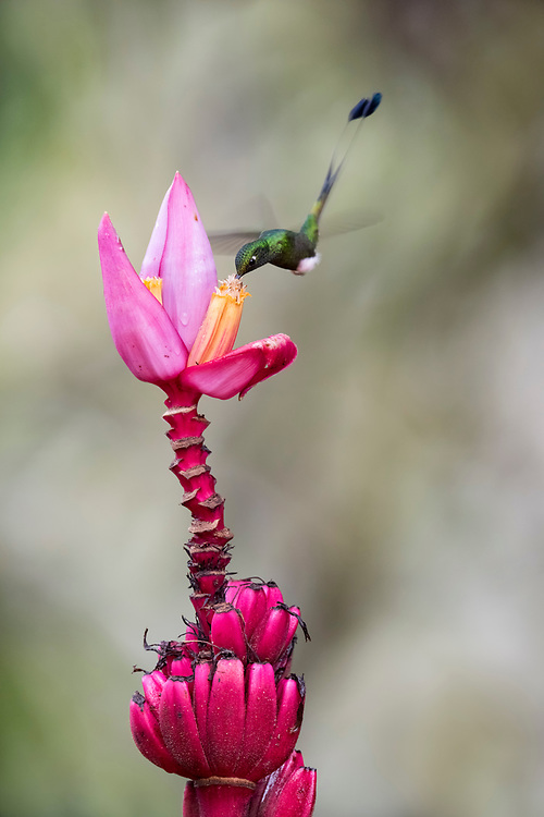 Booted Racket-tail, Ocreatus underwoodii, male, ornamental banana flower, Nanegalito, Ecuador