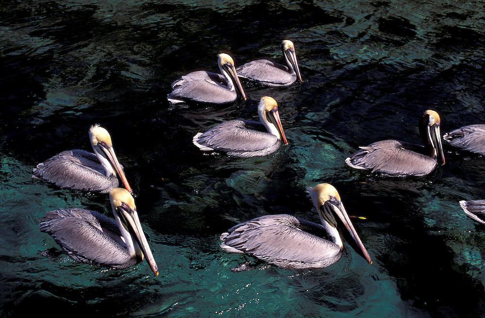 American White Pelican (Pelecanus erythrorhynchos,  Weeki Wachee Spring, Florida, USA