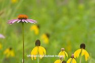 63863-02401 Purple Coneflower (Echinacea purpurea) & Gray-headed Coneflowers (Ratibida pinnata) Ballard Nature Center, Effingham County, Illinois