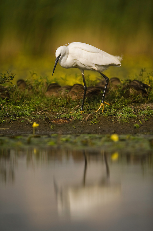 Little egret (egretta garzetta) on a lake shore, Hortobagy National Park, Hungary