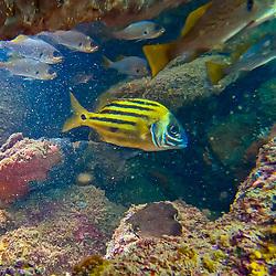 Sargo-amarelo (Anisotremus moricandi) fotografado em três Ilhas, no município de Guarapari, no Espírito Santo -  Sudeste do Brasil. Oceano Atlântico. Registro feito em 2020.<br /> ⠀<br /> ⠀<br /> <br /> <br /> <br /> <br /> ENGLISH: Brownstriped grunt photographed in Três Ilhas, Guarapari, in Espírito Santo - Southeast of Brazil. Atlantic Ocean. Picture made in 2020.
