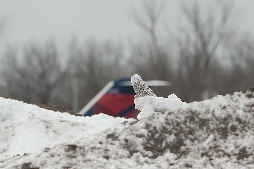 Snowy Owl Air Traffic Controller Syracuse NY