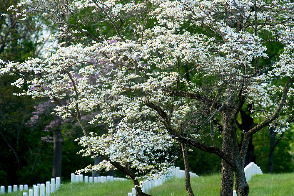 Rows of white gravestones and a dogwood tree in bloom in the spring at the Annapolis National Cemetery, Annapolis, Maryland. The Annapolis national cemetery was established by Abraham Lincoln in 1862.  Soldiers from the civil war to more modern conflicts are interned here, however the cemetery is closed to new internments.  The total number of internments as of 2007 is 2995.