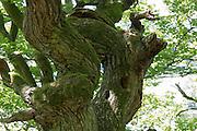 knorriger Baum, Naturschutzgebiet Kahle Haardt bei Scheid am Edersee, Nordhessen, Hessen, Deutschland | old tree, nature reserve Kahle Haardt near Scheid on Lake Eder, Hesse, Germany