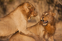 A pair of adolescent male African lions (Leo Panthera) in a serious play-fight together on a cool winter morning, Chobe National Park, Botswana, Africa