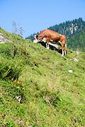 Austria, Tyrol, Free roaming Cows