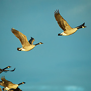 Canadian Geese depart the field at one of the Bosque del Apache feeding areas on a crips winter day.