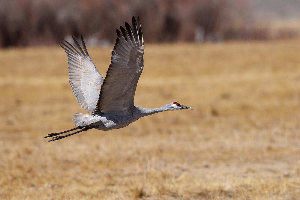 Sandhill Crane, Monte Vista, Colorado
