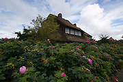 Reed-covered house hidden behind Sylt-Roses (Kamtschatka-Roses).