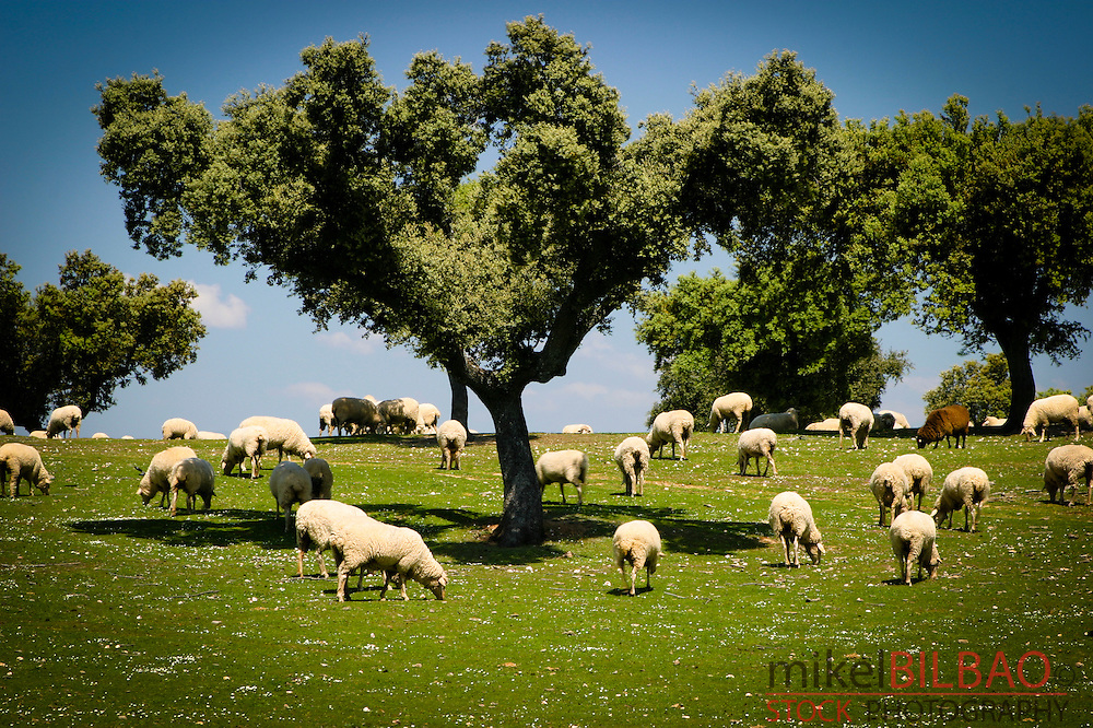 Cork oaks (Quercus suber) and grassland or dehesa.<br /> Monfrag&uuml;e National Park and UNESCO Biosphere Reserve. Caceres, Extremadura, Spain.