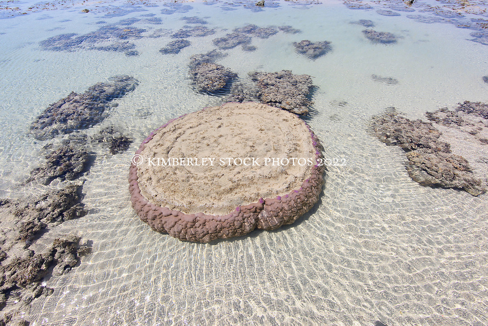 A large coral lies underwater on a shallow reef at the northern end of Augustus Island in Camden Sound on the Kimberley coast.