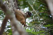 common brown lemur, Eulemur fulvus, Brauner Maki, lémur pardo, Lémur fauve