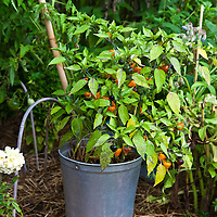 Pepper plant growing in a galvanized pail in the garden