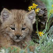 Canada Lynx, (Lynx canadensis) Montana. Portrait of kitten in hollow log.  Captive Animal.