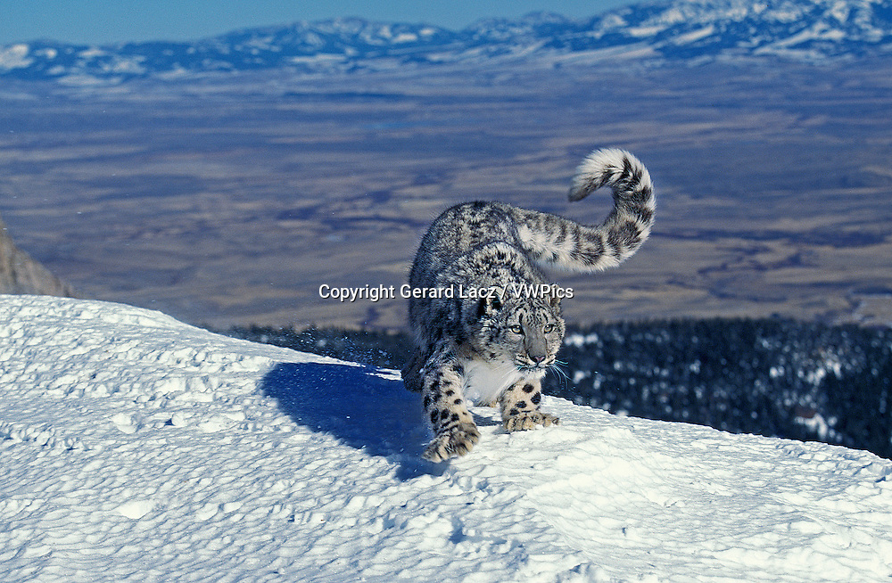 Snow Leopard or Ounce, uncia uncia, Adult standing on Snow