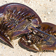 Upside down Horseshoe Crabs,<br />