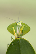 Hooded Mantis<br /> Choeradodis rhombicollis<br /> Northern Costa Rica, Central America