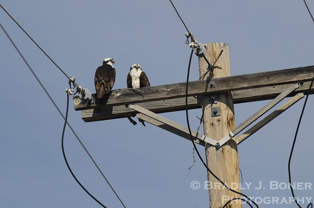 Osprey on power line near Jackson, Wyo.