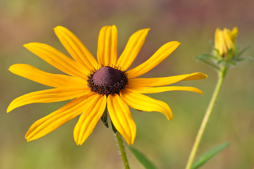 Close-up of a black-eyed susan (Rudbeckia hirta) growing near Mirror Lake, Canaan Valley, Davis, West Virginia.