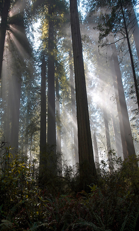 Rays of sunlight shining through the redwood canopy. Del Norte State Park California April 2013.