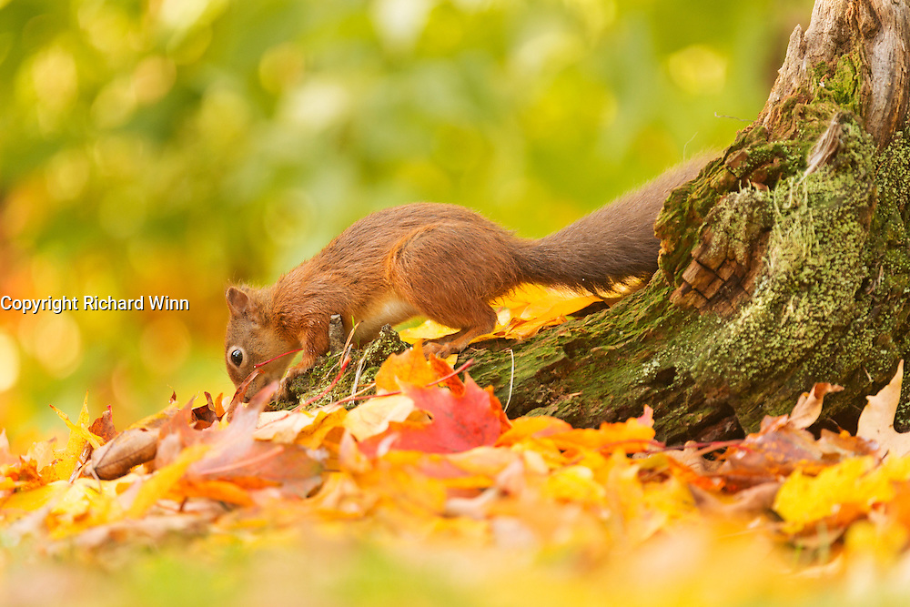 Red squirrel looking for hidden hazlenuts at the Aigas Field Centre, while surrounded by autumn leaves.