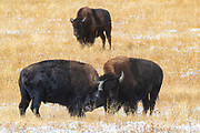 Two American bison (Bison bison) fight as another bison watches in the Fountain Flat area of Yellowstone National Park, Wyoming.