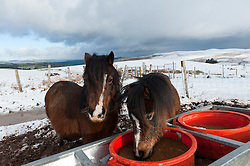 © Licensed to London News Pictures. 14/01/2016. Builth Wells, Powys, Wales, UK. Welsh ponies lick a cake at a feeder. Snow fell last night on the high moorland of the Mynydd Epynt, near Builth Wells, Powys, Wales. Photo credit: Graham M. Lawrence/LNP