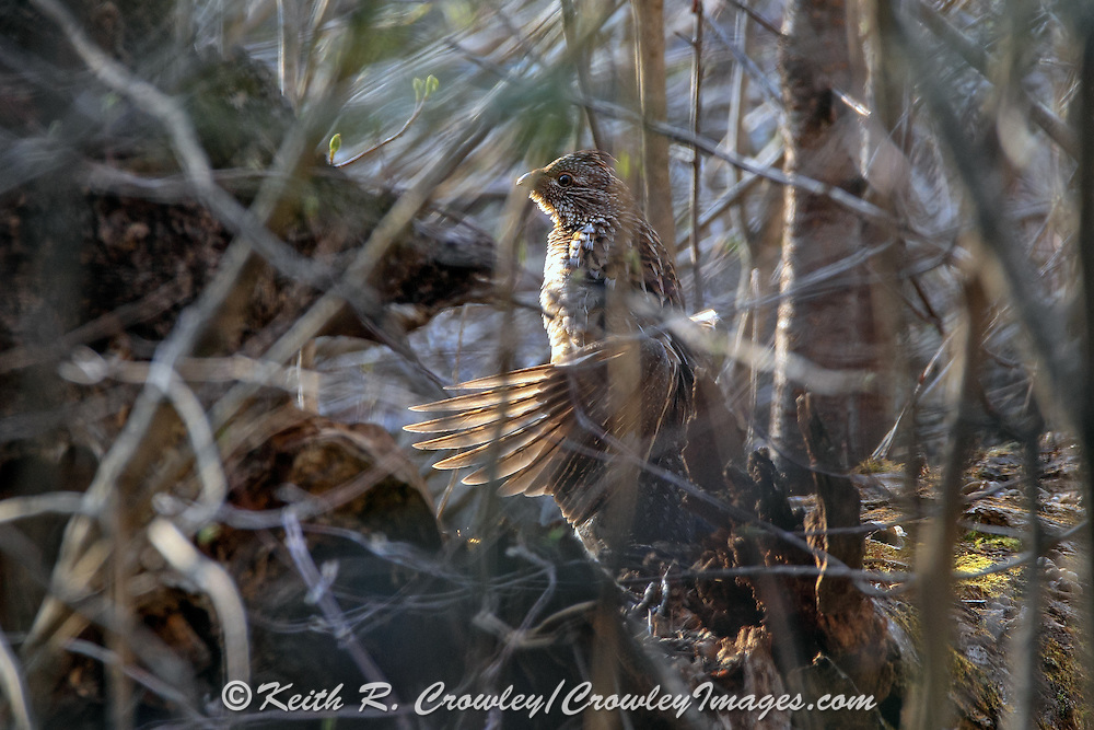 Male Ruffed grouse on drumming log.