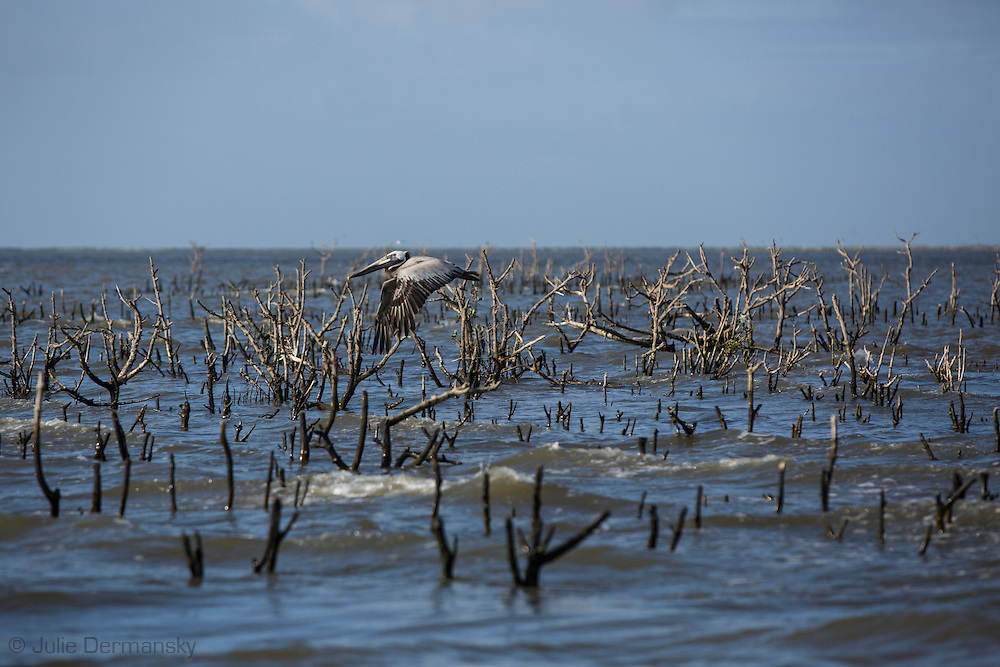 Pelican flies over dead mangrove trees that remain on a barrier island off the coast of Plaquimes Parish known to locals as Cat Island. The island was a bird rookery before the BP oil spill. The spill killed the roots of many of the trees hastening coastal erosion.