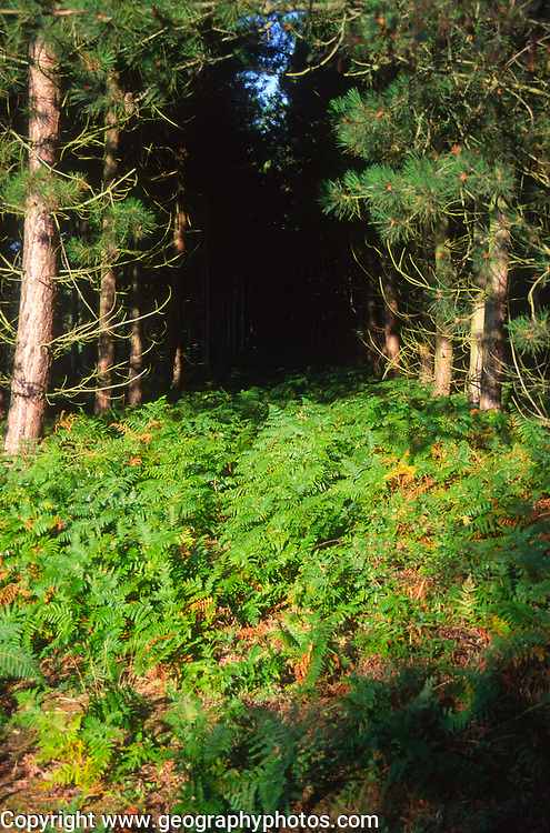 A07WX1 Conifer trees Suffolk Sandlings England
