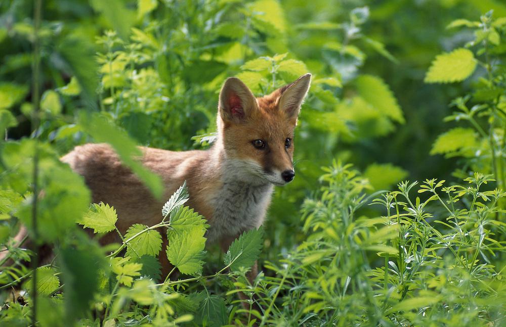 Fox cub in spring woodland..? .?...