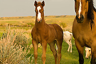 Quarter Horses, mare with sorrel foal<br /> PROPERTY RELEASED
