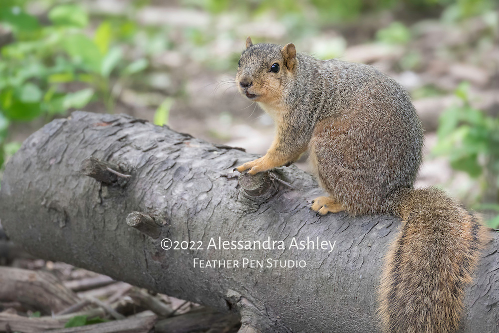 Eastern fox squirrel, Sciurus niger, pauses on a fallen log in the woods.