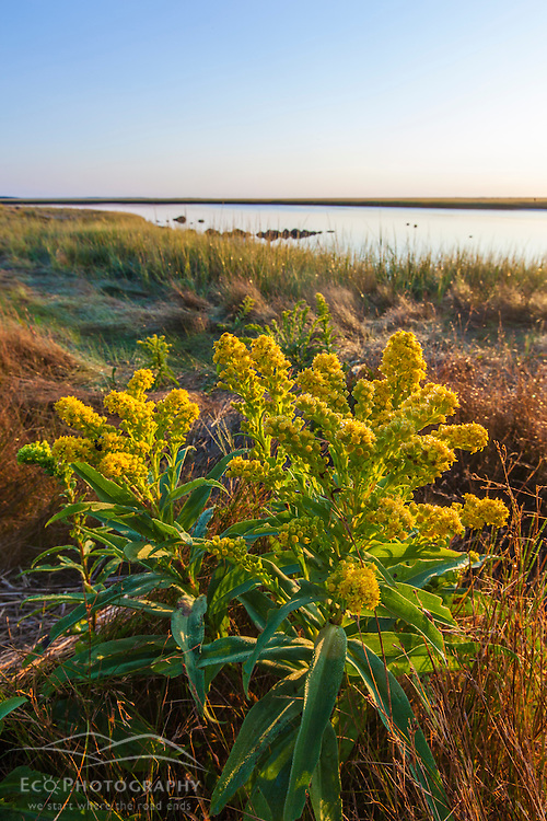 Goldenrod next to a salt marsh at Fort Hill in the Cape Cod National Seashore. Eastham, Massachusetts.