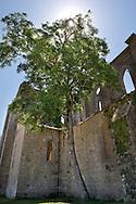 Juglans regia (walnut). Abbey of San Galgano, Chiusdino, Siena, Italy.