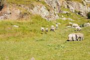 Lyttelton, New Zealand. Sheep grazing on Mount Pleasant