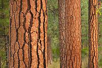Ponderosa Pines (Pinus ponderosa) Deschutes National Forest Oregon