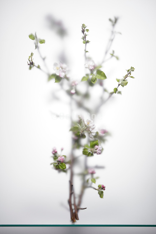 blossoming cherry tree twig