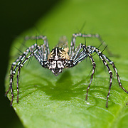 A lynx spider. Oxyopidae sp. Lynx spiders are the members of the family Oxyopidae. They all are hunting spiders that spend their lives on plants, flowers and shrubs.