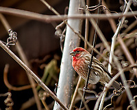 Male house finch on a vine. Backyard winter nature in New Jersey. Image taken with a Nikon D2xs camera and 80-400 mm VR lens (ISO 100, 400 mm, f/5.6, 1/125 sec).
