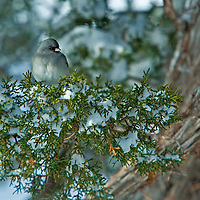 A Dark-Eyed Junco sits in a snow-filled Juniper in Northeastern Arizona's White Mountains.