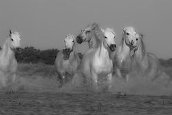 A black and white of white horses of the Camargue (Equus ferus caballus) running through a lake, manes flying in the wind with water splashing motion blur, evening light,  Le Camargue, Provence, France