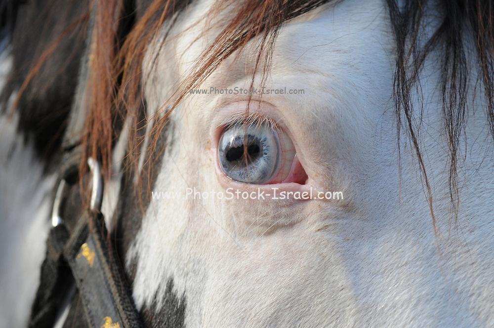 Horse's head closeup he horse has blue eyes