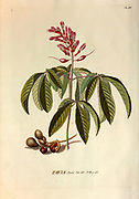 Coloured Copperplate engraving of a Pavia plant from hortus nitidissimus by Christoph Jakob Trew (Nuremberg 1750-1792)