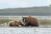 A Brown bear mother shares her salmon with her yearling cub along the lower lagoon at the McNeil River State Game Sanctuary on the Kenai Peninsula, Alaska. The remote site is accessed only with a special permit and is the world's largest seasonal population of brown bears in their natural environment.