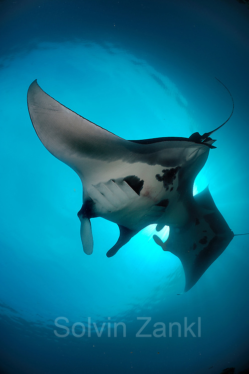 Giant manta rays (Manta birostris) feeding on plankton North Raja Ampat, West Papua, Indonesia, Pacific Ocean | Riesenmanta   (Manta birostris) Raja Ampat, West Papua, Indonesien, Pazifischer Ozean
