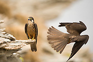 Eleonora's Falcon, Greece
