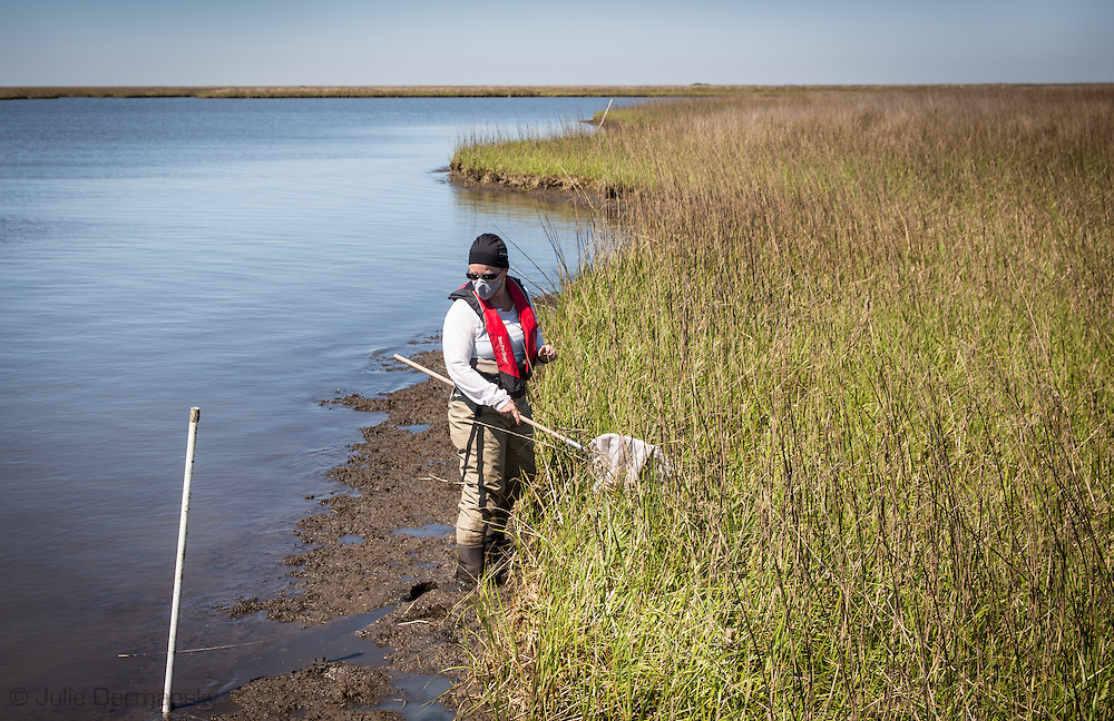 April 9, 2014  Plaquemines Parish, Louisiana, Louisiana State University entomologist Linda Hooper-Bui collects insects and sediment samples in Bay Jimmy, one of the areas hardest hit by the BP oil spill. <br /> <br /> Hooper-Bui has been monitoring the declining  insect populations since the Macondo well blew out on April 20, 2010. Almost four years since the  BP oil spill, Hooper Bui has found a dramatically decreased insect population in the areas the were coated with oil.