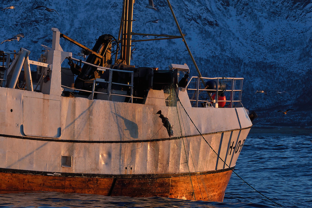 "Fishing boat fishing for the large cod or ""Skrei"", Gadus morhua, that come here to eat herring in the winter, Senja, Troms county, Norway, Scandinavia"