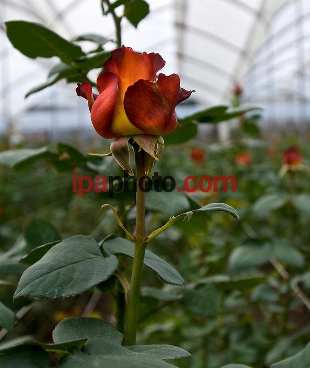 QUITO, ECUADOR, FEB/09/2009<br /> Roses production for Valentine Day in Ecuador February 09 2009. (Photo by IPAPHOTO.COM).<br /> <br /> QUITO, ECUADOR, FEB/09/2009<br /> La variedad Coffee Break, es una de las rosas que comercializar&aacute; en la fiesta de San Valent&iacute;n. El Ecuador es uno de los principales exportadores de rosas en el mundo que se venden en el mercado Norteamericano, Europeo y Ruso. En San Valent&iacute;n las variedades de coloraci&oacute;n rojiza son las m&aacute;s apreciadas.  La siembran se realiza en las zonas andinas ecuatorianas y han obtenido una gran reputaci&oacute;n por su calidad. El clima ecuatorial andino, las hacen  competitivas en calidad y duraci&oacute;n. T&eacute;cnicos expertos mantienen que son las mejores rosas del mundo porque los cultivos se encuentran en la l&iacute;nea ecuatorial, con suelo volc&aacute;nico, rico en nutrientes y componentes qu&iacute;micos y f&iacute;sicos, donde la luminosidad promedia de 10 a 12 horas al d&iacute;a y las fincas productoras al estar a un nivel de 2.800 metros, permite que el tallo obtenga mayor tama&ntilde;o, mejor follaje y color intenso. (Photo by IPAPHOTO.COM).